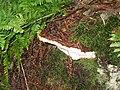 Bracket fungus - Heterobasidion annosum - geograph.org.uk - 1609484.jpg