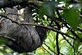 Bradypus variegatus 10zz.jpg