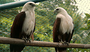 Brahminy Kite (Haliastur indus). Two in captiv...
