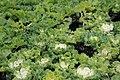 Brassica Nagoya White 1zz.jpg