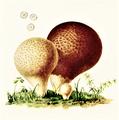 Bresadola - Lycoperdon piriforme.png