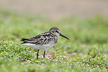 Broad billed sandpiper by Sreedev Puthur.jpg