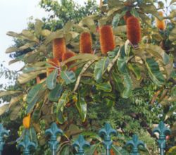 Banksia robur en culture