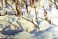 Brooks Range (10) snowshoe hare.jpg