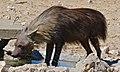 Brown Hyena (Parahyaena brunnea) (6472926331).jpg