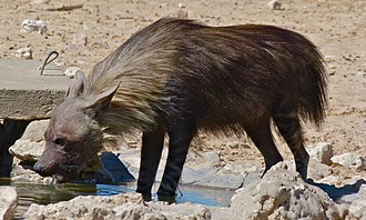 Brown hyena - At the Gemsbok National Park, South Africa