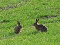 Brown hares (Lepus europaeus) (51106339734).jpg