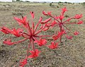 Brunsvigia orientalis00.jpg