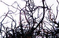 Bryoria bicolor.jpg