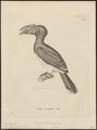Buceros buccinator - 1700-1880 - Print - Iconographia Zoologica - Special Collections University of Amsterdam - UBA01 IZ19300129.tif