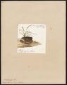 Bufo igneus - 1700-1880 - Print - Iconographia Zoologica - Special Collections University of Amsterdam - UBA01 IZ11500245.tif