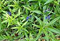Buglossoides purpurocaerulea kz8.jpg