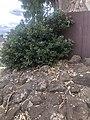 Bulleen red gum shrubbery January 2021.jpg