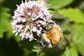 Bumblebee (2737401779).jpg