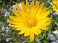 Buphthalmun salicifolium DSCF1599.JPG