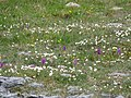 Burren Flora 23 Mountain Avens and Orchids (3585421867).jpg