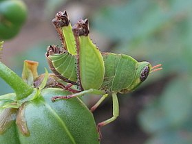 Bush hopper 2 (6949077617).jpg