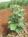 Butea monosperma plant. Yavatmal, Maharashtra..JPG