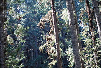 Angangueo - Monarchs at the Cerro Prieto Sanctuary near Angangueo