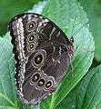 Butterfly Blue Morpho Closed (2765780998).jpg