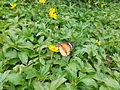 Butterfly on a flower 02.jpg