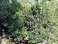 Buxus sempervirens heinrich bruns 0zz.jpg