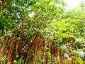 Cây cổ thụ ở công viên Đầm Sen.JPG