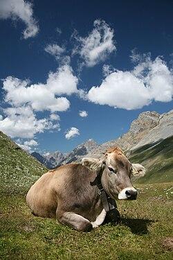 CH cow 2. jpg