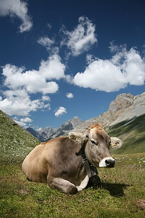 Alpine transhumance - Braunvieh cow on high pasture in the Engadin (2007)