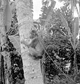 COLLECTIE TROPENMUSEUM Een klapper- of Lampongaap (Inuus) in een boom in Manindjau West-Sumatra TMnr 10006642.jpg