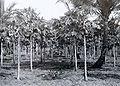 COLLECTIE TROPENMUSEUM Papajabomen op het terrein van het proefstation voor ooftteelt bij Pasar Minggoe Batavia TMnr 60016086.jpg
