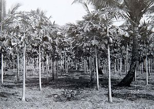 Pasar Minggu - A 1930s picture of an experimental growing station of papaya in Pasar Minggu