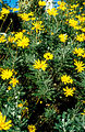 CSIRO ScienceImage 4436 Yellow daisies.jpg