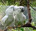 Cacatua alba -Binder Park Zoo, Battle Creek, Michigan, USA -two-8a (2).jpg