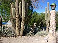 Cacti in Humahuaca.jpg