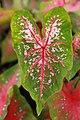 Caladium bicolor Red Flash 1zz.jpg