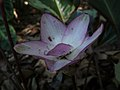 Calathea loeseneri - Flor.jpg