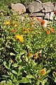 Calendula officinalis Pot Marigold გულყვითელა.JPG