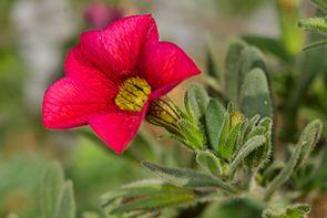 Calibrachoa sp.