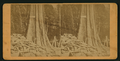 California Big Trees, 'The Rhode Island.', from Robert N. Dennis collection of stereoscopic views.png