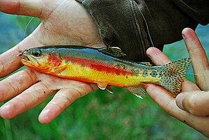 Golden trout - Image: California Golden Trout