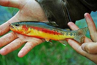 Golden trout species of fish