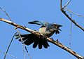 California scrub jay, Aphelocoma californica, along the Guadalupe River in Santa Clara, California, USA (25319244899).jpg