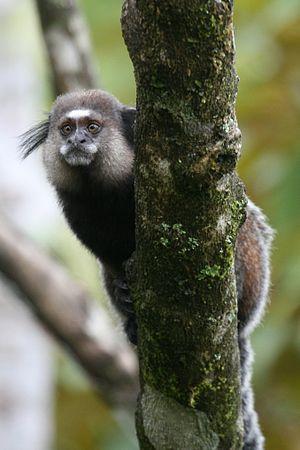 Wied's marmoset - Wied's marmoset at southern Bahia.