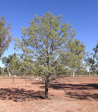 Callitris - Callitris glaucophylla (white cypress), Lightning Ridge, NSW