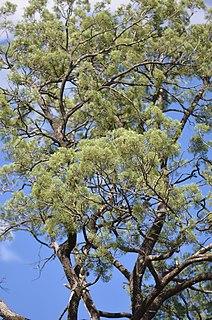 <i>Callitris columellaris</i> species of plant