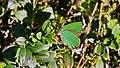 Callophrys rubi im Blanken Flath.jpg
