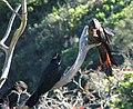 Calyptorhynchus banksii -Taronga Zoo-4.jpg