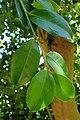 Camellia oleifera kz4.jpg