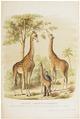 Camelopardalis giraffa - 1700-1880 - Print - Iconographia Zoologica - Special Collections University of Amsterdam - UBA01 IZ21600155.tif